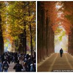 Scouting Fall Colors on Nami Island Korea